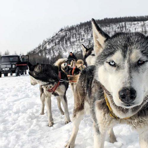 dog-sled-dogs6