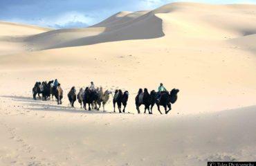 Camel Caravan2