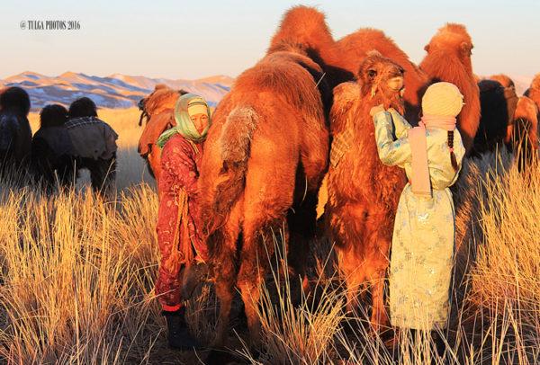 camel-milking